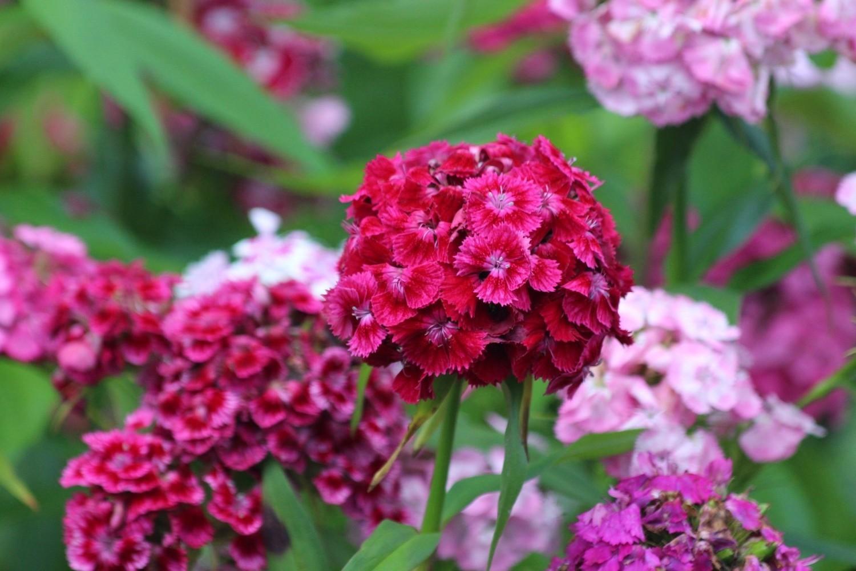 Kolorowe i pachnące goździki brodate nie są bardzo wymagające, a kwitną przez całe lato