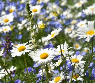 Piękne i kolorowe łąki kwietne w Zamościu