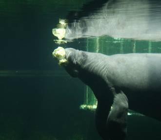 Oto nowy mieszkaniec wrocławskiego zoo. To maleńki manat. Zobacz film i zdjęcia