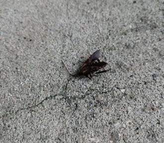 Wtyk amerykański straszy Dolnoślązaków. Paskudny owad chce się dostać do domów