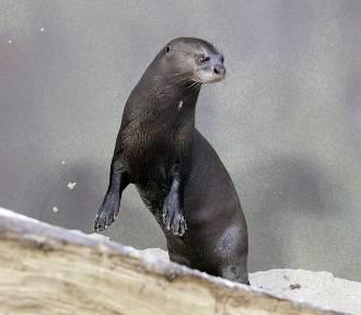 Nowe zwierzęta w łódzkim zoo. Zamieszkały tam wydry amazońskie [ZDJĘCIA]