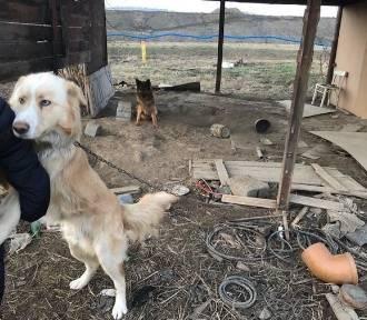Uratowali psy. Były wychudzone, uwięzione na łańcuchach i trzymane na mrozie [ZDJĘCIA]