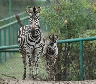 Żyrafa, walabie i zebra nowymi mieszkańcami zoo