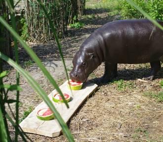 Euro 2016: Fupi z zamojskiego zoo stawia na Szwajcarię. ZDJĘCIA