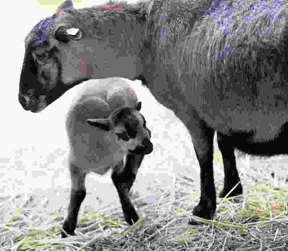 Małą owieczkę  można oglądać w zagrodzie dziecięcej