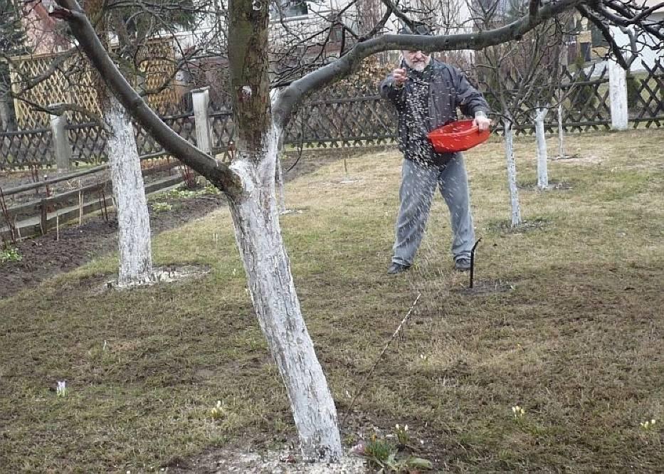 Drzewka dawno pobielone, teraz poletko jest nawożone