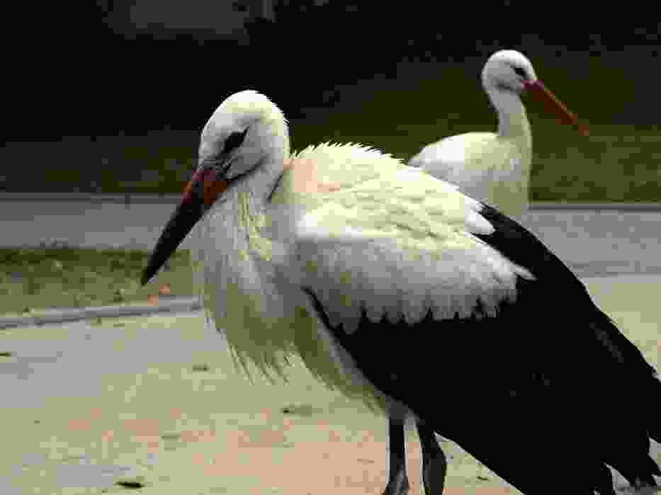 - Sejmiki skończyły się w sierpniu i bociany powinny były już odlecieć - mówi wolontariuszka doglądająca ptaków, które zamiast Afryki wybrały spore osiedle w Warszawie