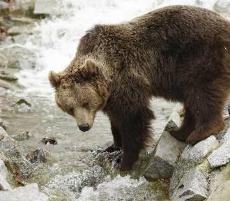 Niedźwiedzie powróciły w Karkonosze? Turysta poinformował, że widział niedźwiedzicę z trzema