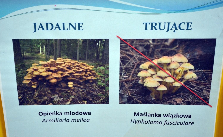 Jadalna Opieńka Miodowa, a trująca Maślanka Wiązkowa:Opieńka miodowa jest grzybem jadalnym
