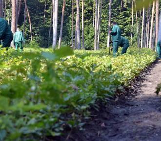 Więźniowie będą pracować w lasach. Zajmą się m.in. zbieraniem śmieci