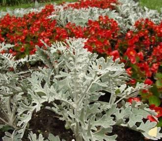 Rośliny o srebrnych liściach. Polecamy 15 pięknych gatunków