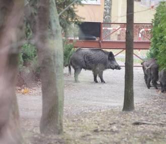 Dziki dostały się w okolice dwóch szkół w Poznaniu