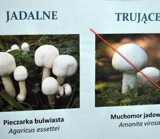 Atlas grzybów jadalnych, niejadalnych i trujących. Zobacz!
