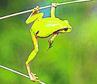 """Zaczął się """"żabi sezon"""". Pomóż!"""