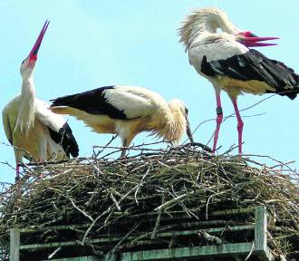 W marcu bociany już szukają swoich gniazd
