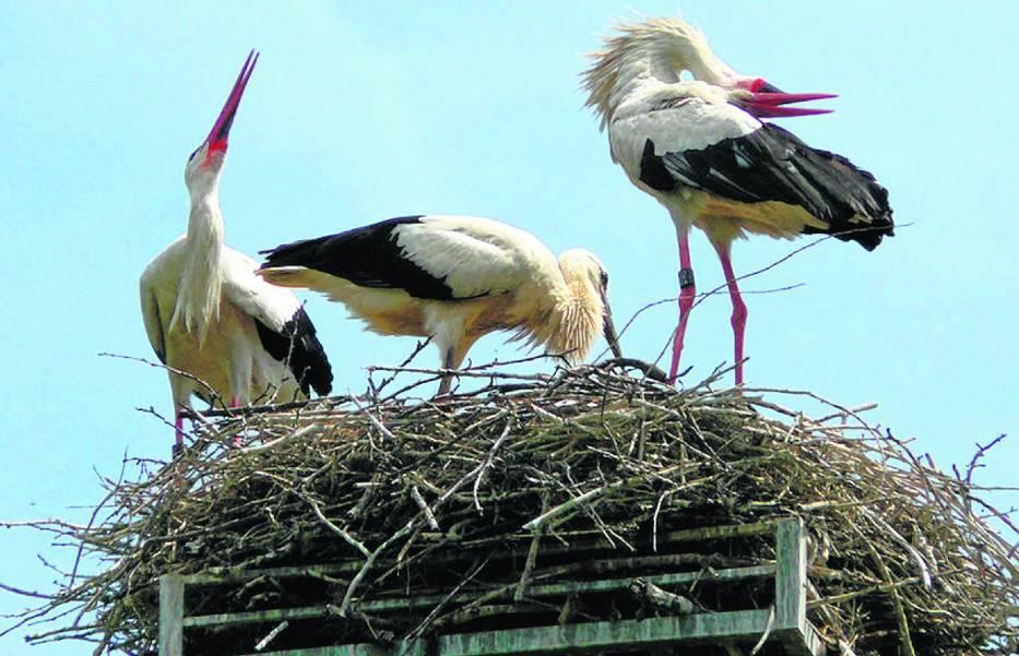 Bocianie gniazdo może mieć do dwóch m głębokości, od 0,8 do 1,5 m średnicy i waży od 60 do 250 kg