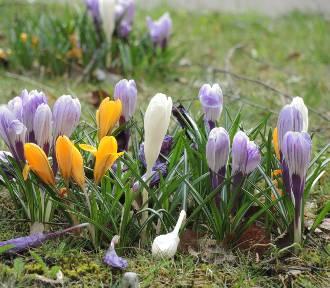 Świnoujście już z dywanami krokusów, choć wiosna dopiero przed nami