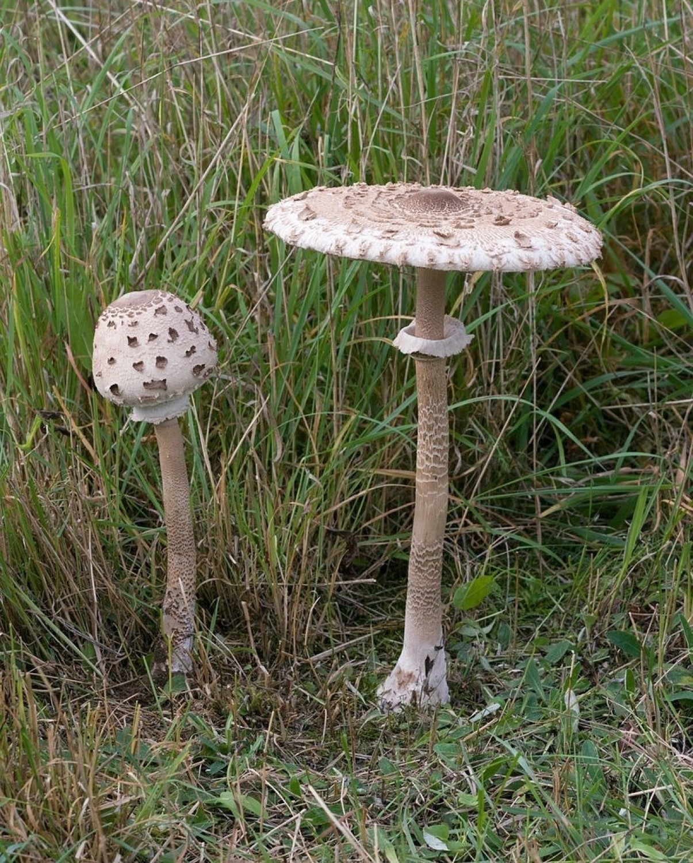 grzyb kania, muchomor, charakterystyka