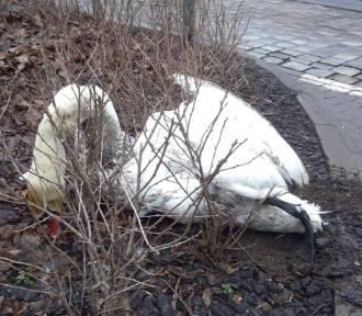 Wrocław. Kierowca przejechał... łabędzia i ciągnął go pod samochodem. Potem porzucił ptaka.