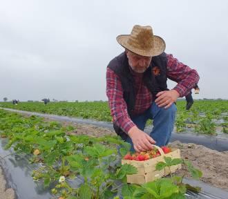 Ministrowie rolnictwa zbierali truskawki na plantacji