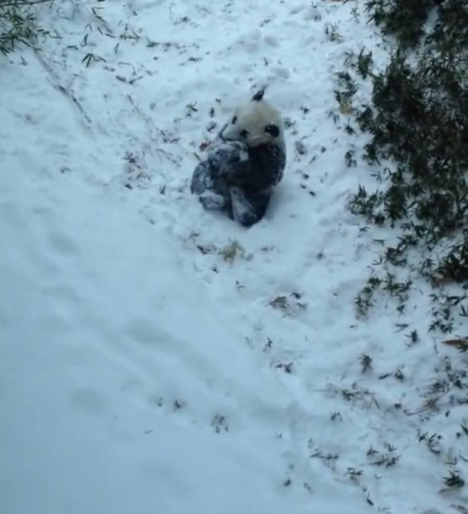 Panda Bao Bao po raz pierwszy zobaczyła śnieg