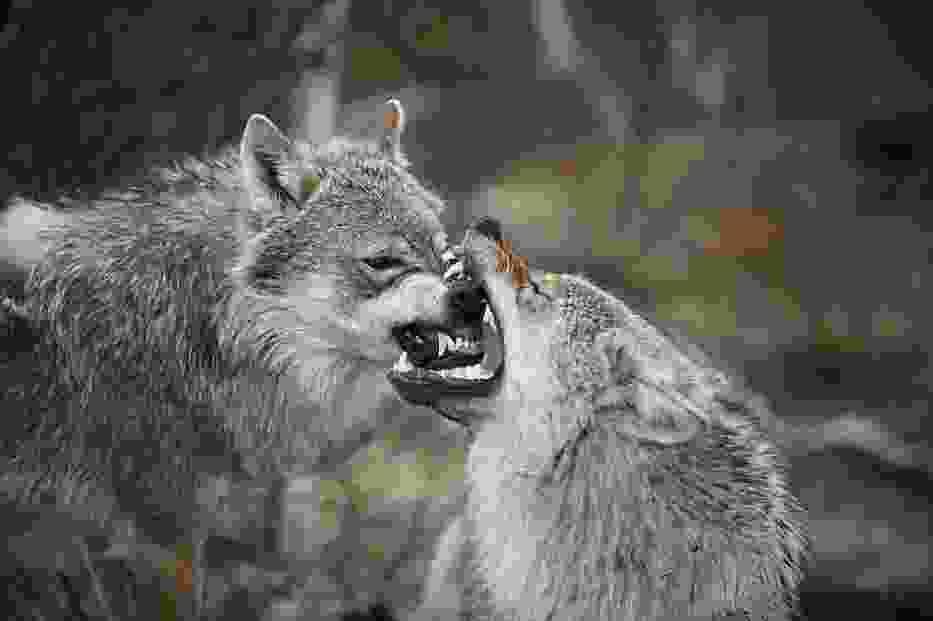 Wilki w Norwegii, domena publiczna; http://en