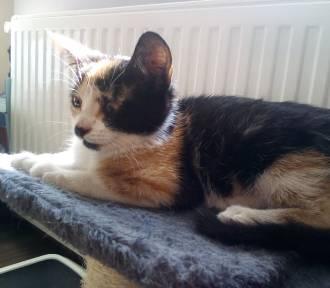 Poszukiwany dom dla szylkretowej kotki, znalezionej w Dzierzgoniu