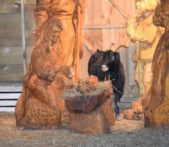 Szopka Bożonarodzeniowa w Pile. A w niej żywe zwierzęta! [ZOBACZ ZDJĘCIA]