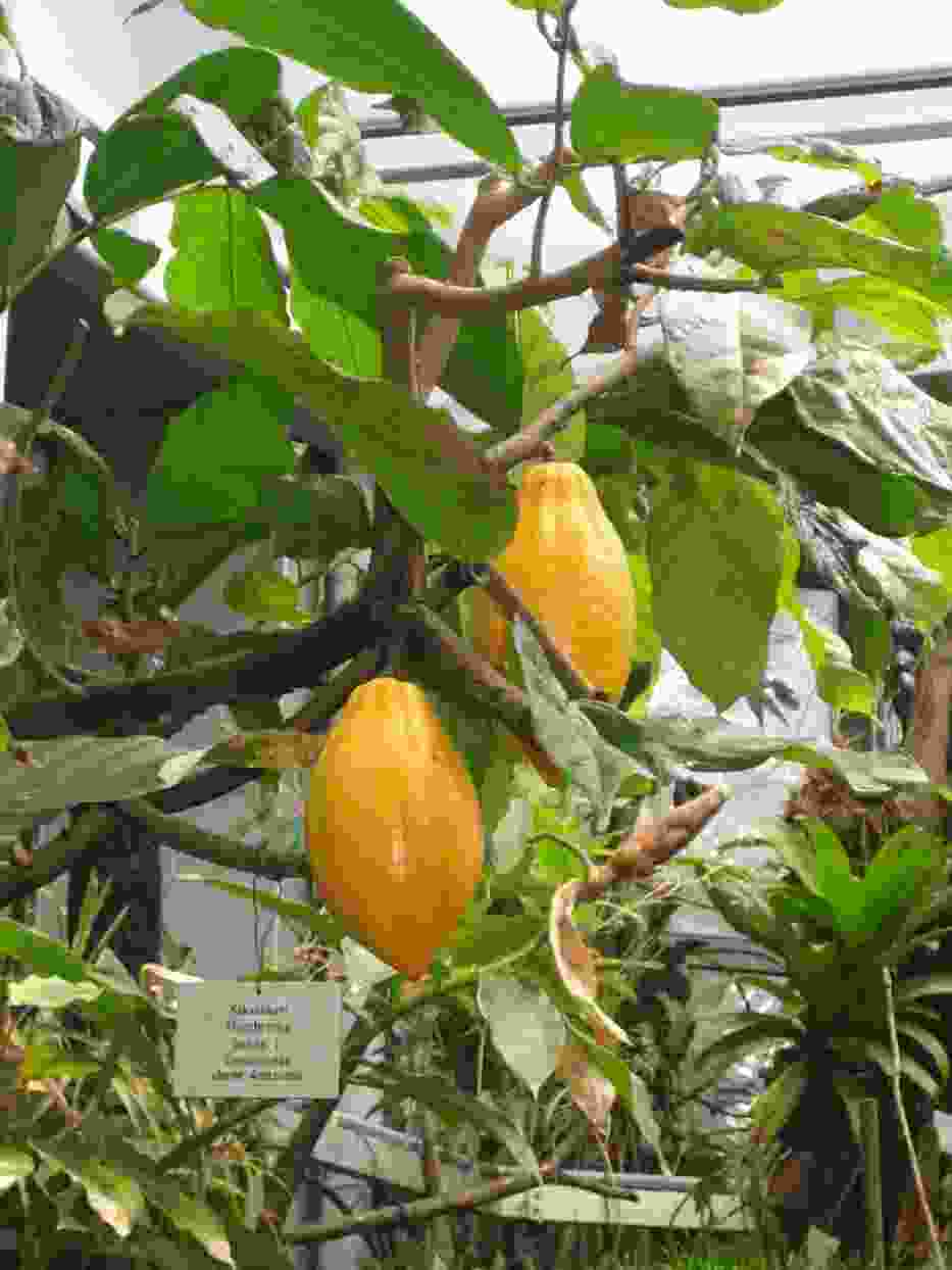 Drzewo kakaowe, ogród botaniczny Frankfurt