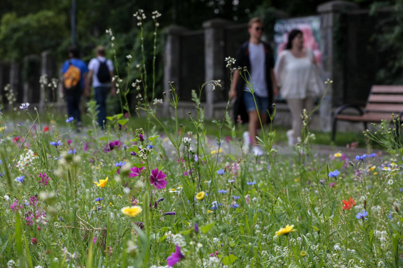 Przykład łąki kwietnej w Krakowie