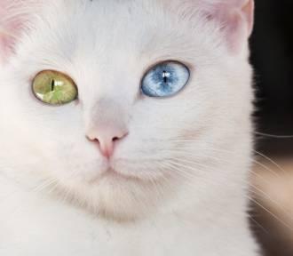 10 najdziwniejszych ras kotów na świecie [ZDJĘCIA]