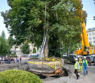 Kraków. Udało się przesadzić gigantyczne drzewo