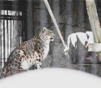 Irbisy ze śląskiego zoo będą mieć nowy wybieg. Właśnie trwa jego budowa