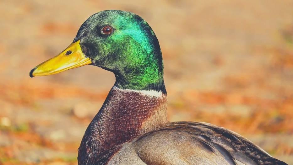 Na co chorują kaczki?