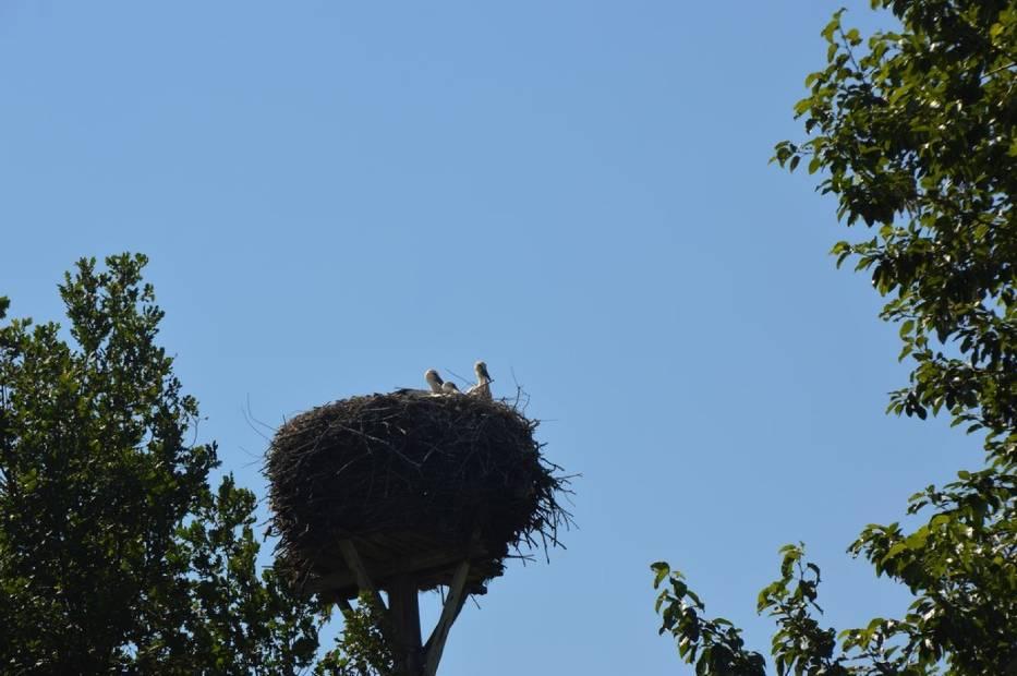 Bocianie pięcioraczki w Kolonii Góra Bałdrzychowska