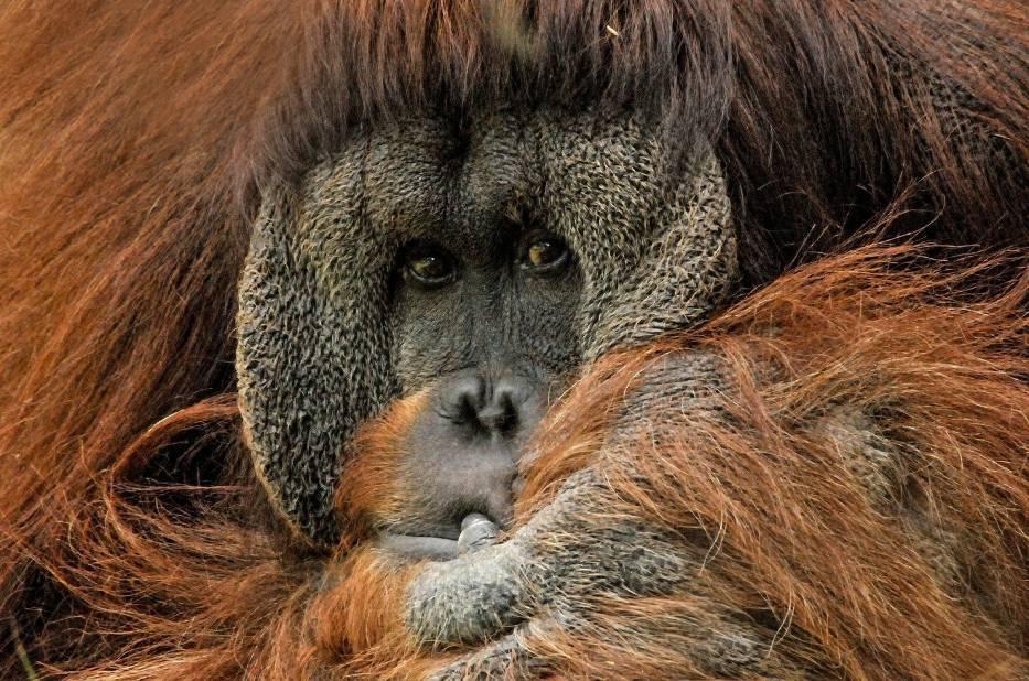 Orangutan Borneański