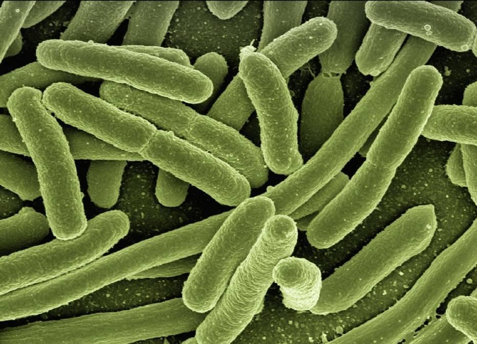 Bakterie E. coli