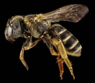 Osa, trzmiel, szerszeń czy pszczoła. Umiesz odróżnić te owady? Czym grozi ukąszenie?