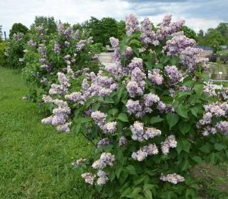 Kielecki Ogród Botaniczny w maju i czerwcu zachwyca kwiatami. Co kwitnie? [ZDJĘCIA, WIDEO]