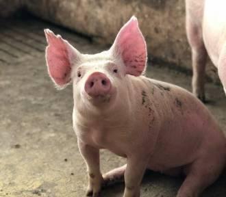 Lubelskie: 23-latek potrącił… świnię w worku