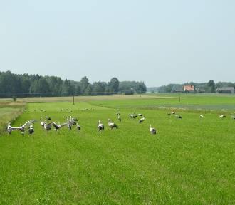 W Polsce bocianów już nie ma