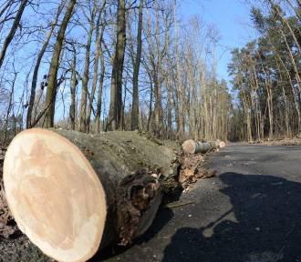 Będzie wycinka kilkudziesięciu drzew w Katowicach. LISTA ULIC