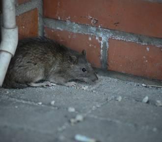 Oto dzielnice, w których najczęściej można spotkać szczury