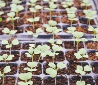 Te rośliny wysiej w lutym, aby mieć piękny ogród latem