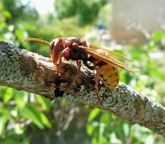 Osy, trzmiele, szerszenie, pszczoły... Umiesz odróżnić te owady? Czym grozi ukąszenie?