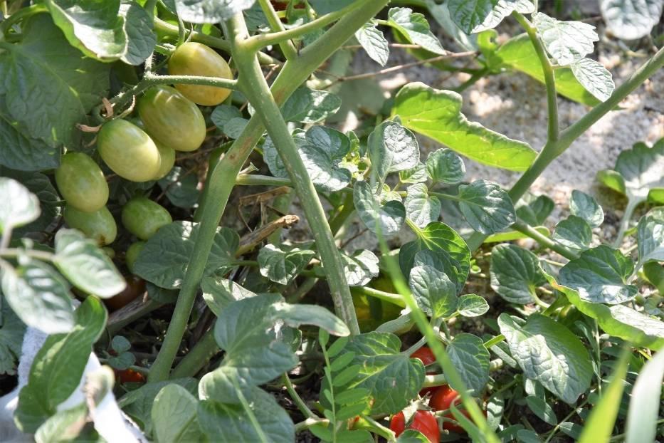 Krzew pomidorów rośnie w centrum Opola na placu, który był zapleczem budowy Solarisa