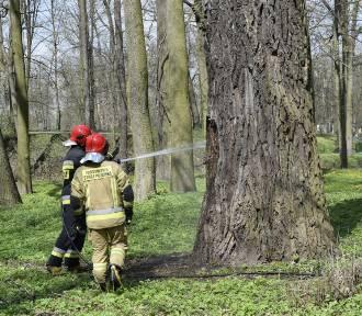Park Miejski w Skierniewicach odwiedzili strażacy. Zapaliło się drzewo ZDJĘCIA