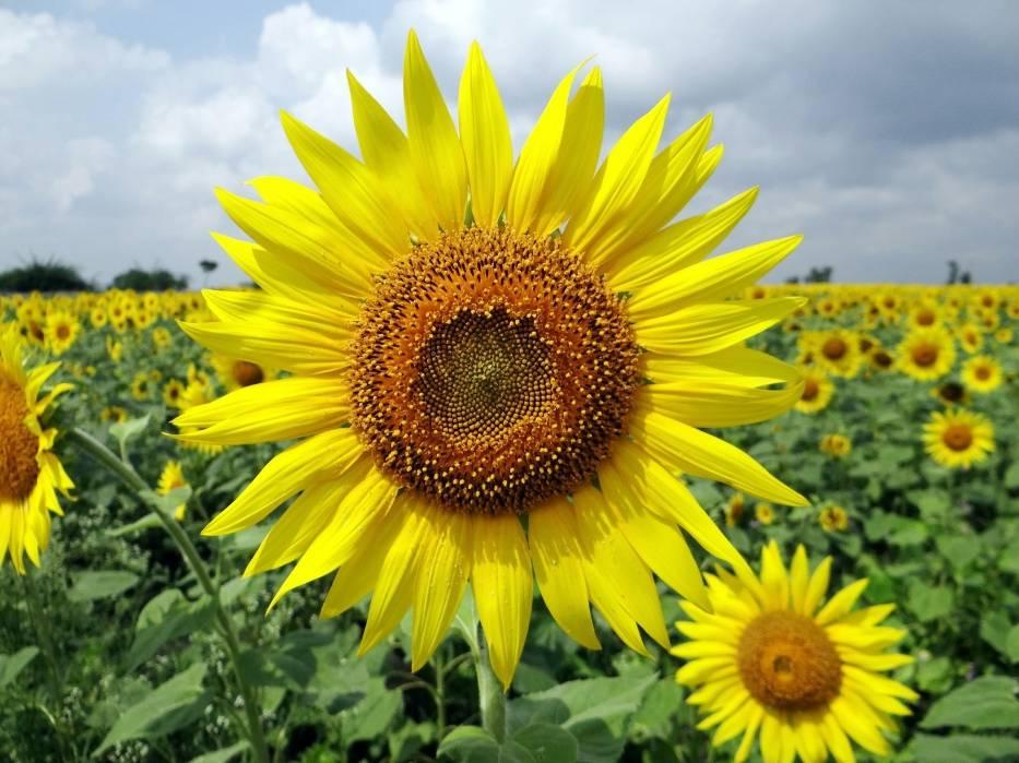 Co oznacza żółty kolor kwiatów?