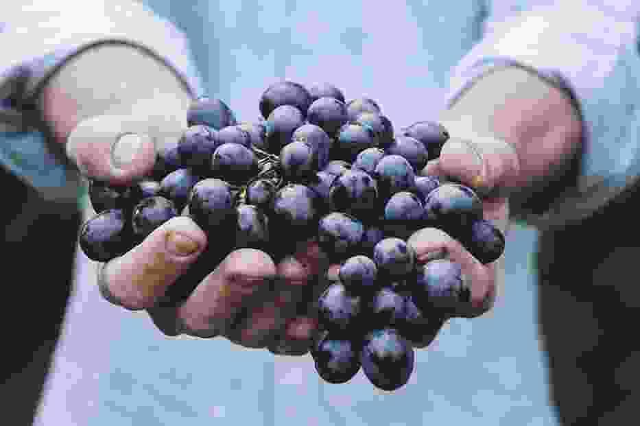 Mazowsze kolebką polskiego wina? To tu powstały pierwsze winnice