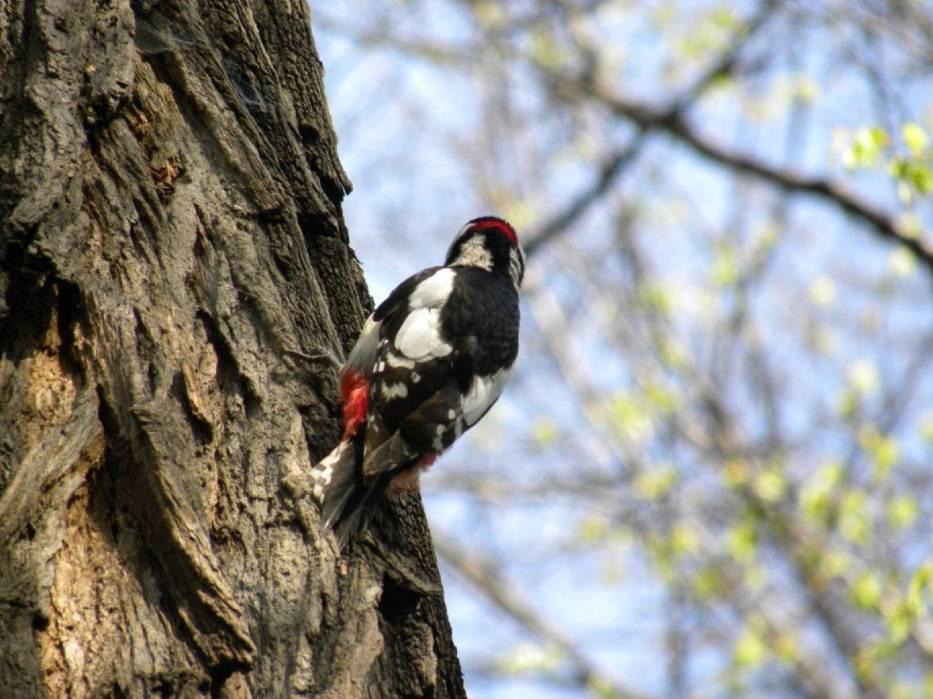 Dzięcioł duży - Dendrocopos major – gatunek średniego ptaka z rodziny dzięciołowatych